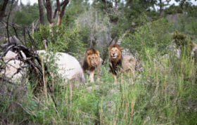 Two Matimba Male Lion Jt