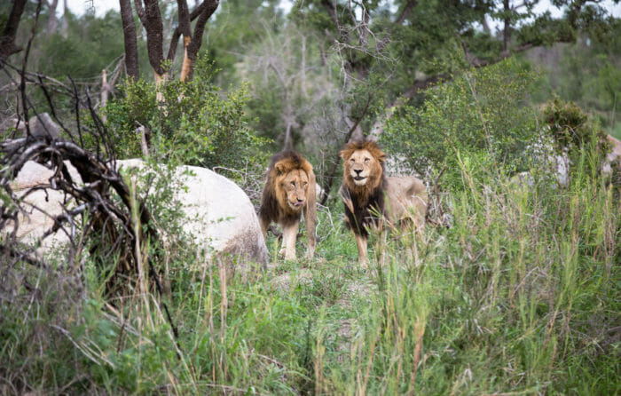 Two Matimba Male Lion Jt