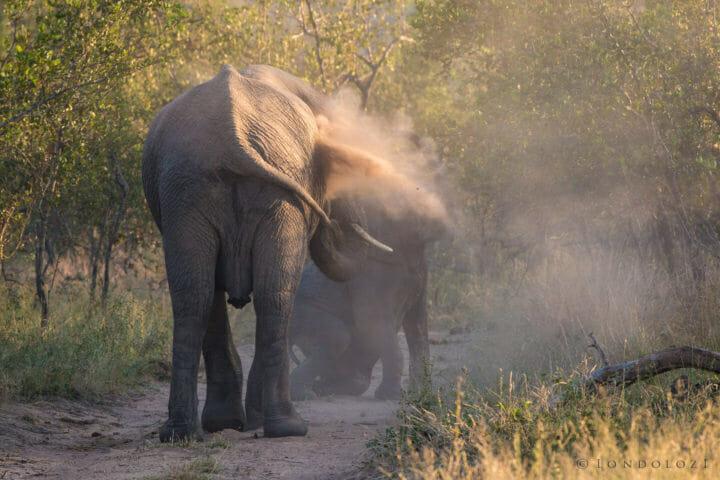 Elephant Dust Bath Jt