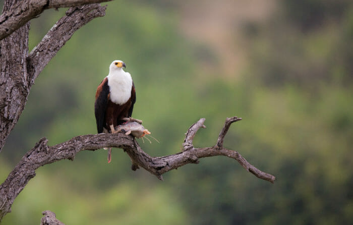 Fish Eagle Barbel Jt