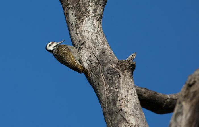 Bearded Woodpecker Jt
