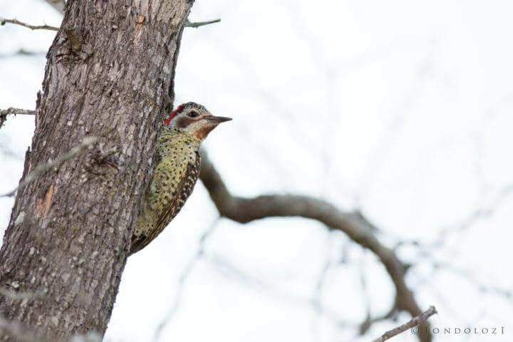 Bennets Woodpecker Jt