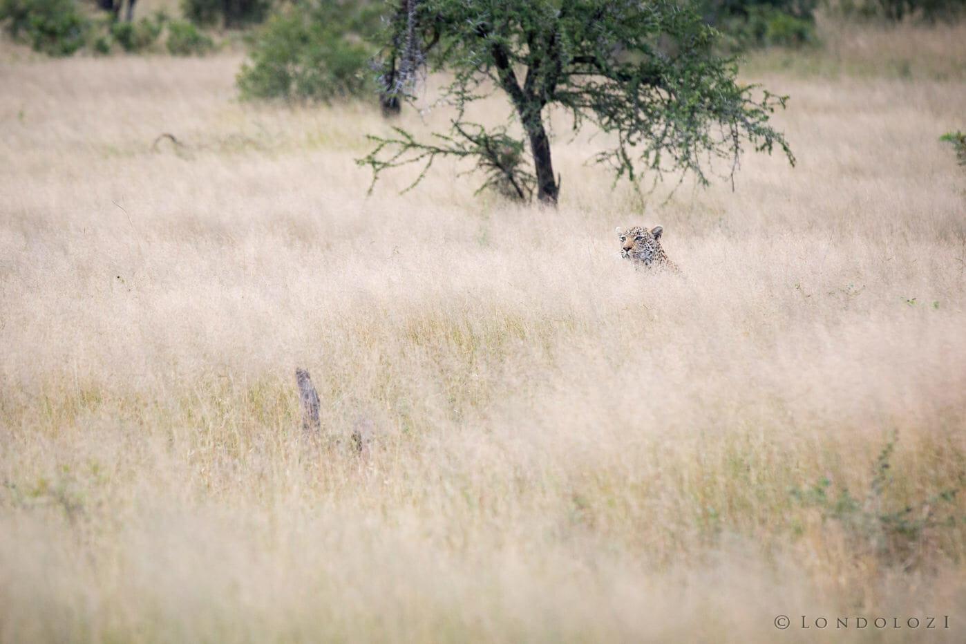 Nanga Female Leopard Grass Jt