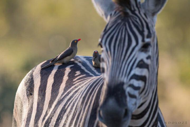 Oxpecker Zebra Jt