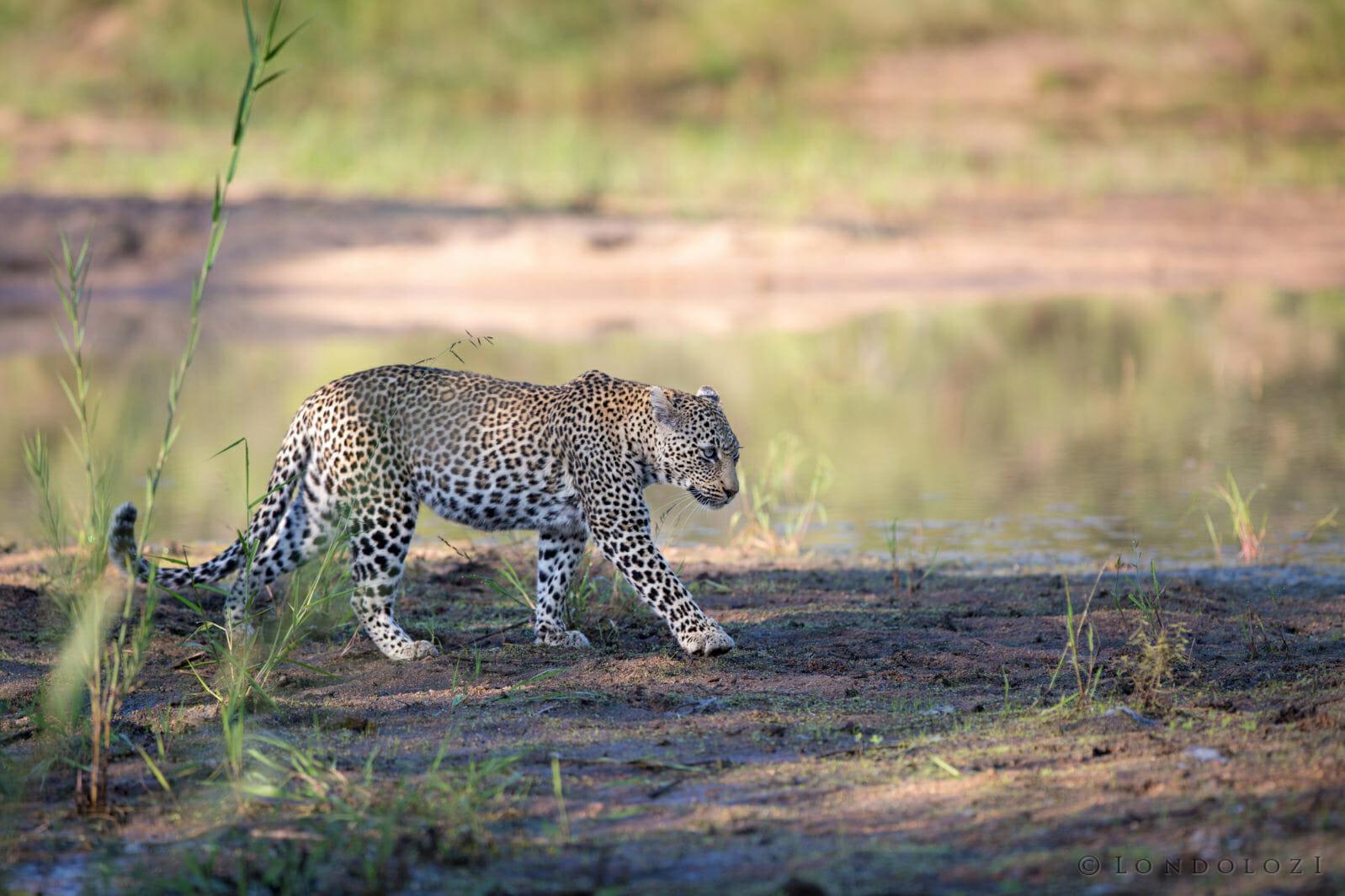 Nanga Female Leopard Jt