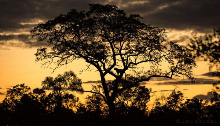 Sunset Leopard Silhouette Jt