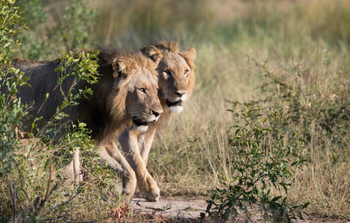 Tsalala Male Lions Jt 2