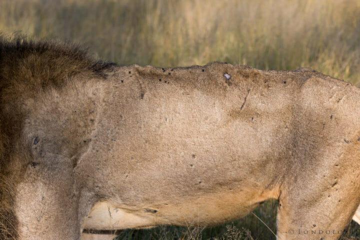 Tsalala Male Lions Jt 3