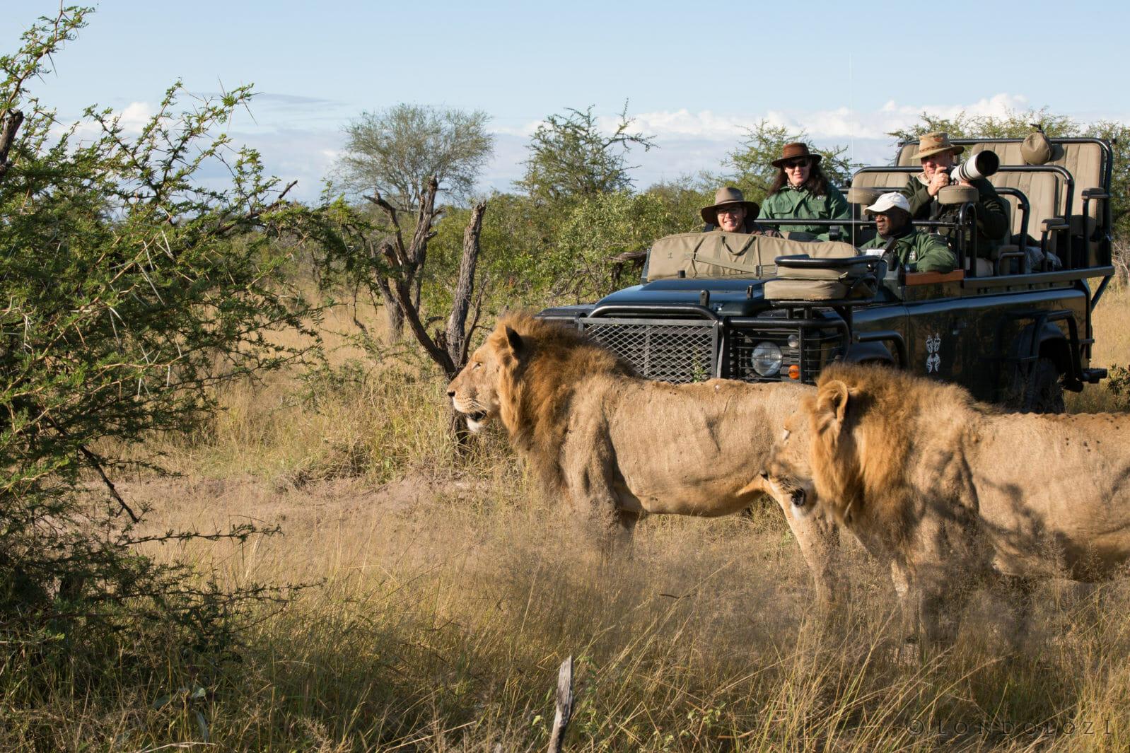 Tsalala Male Lions Jt 4