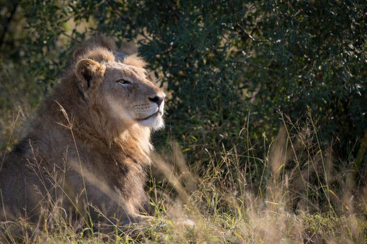 Tsalala Male Lions Jt