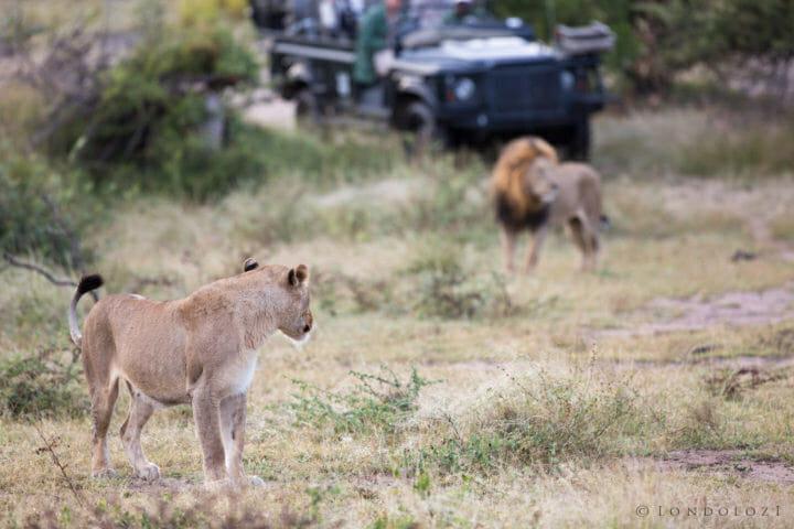 Birmingham Mhangeni Lioness Jt 3