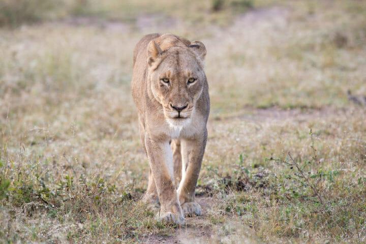 Birmingham Mhangeni Lioness Jt 6