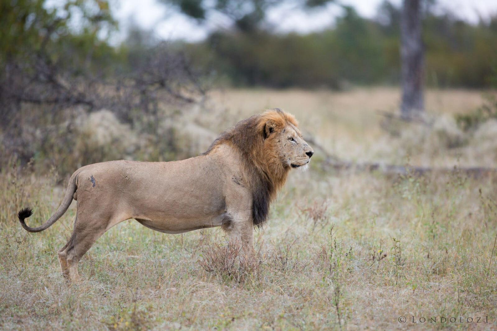 Birmingham Mhangeni Lioness Jt