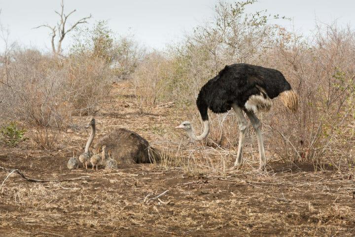Ostrich Nest Jt