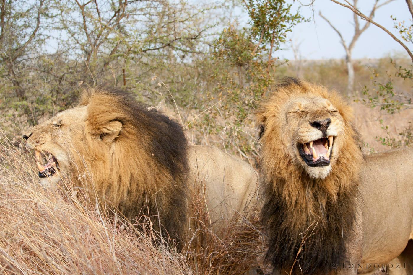 Kruger Male Lions Jt
