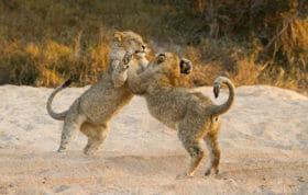 Tsalala Cubs Play Pt
