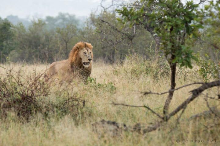 Birmingham Male Lion Fight Jt 2