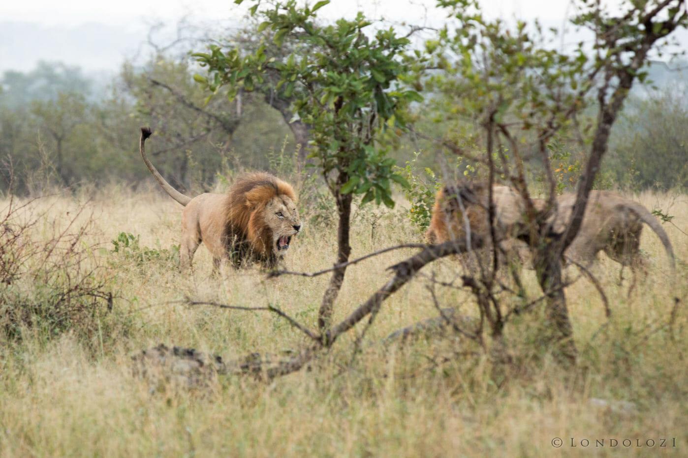 Birmingham Male Lion Fight Jt 3