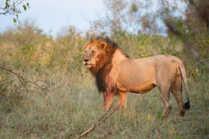 Birmingham Male Lion Fight Jt 7