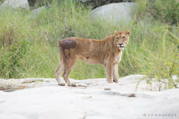 Tsalala Tailless Lioness Jt 2