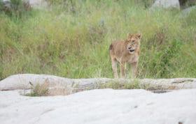 Tsalala Tailless Lioness Jt