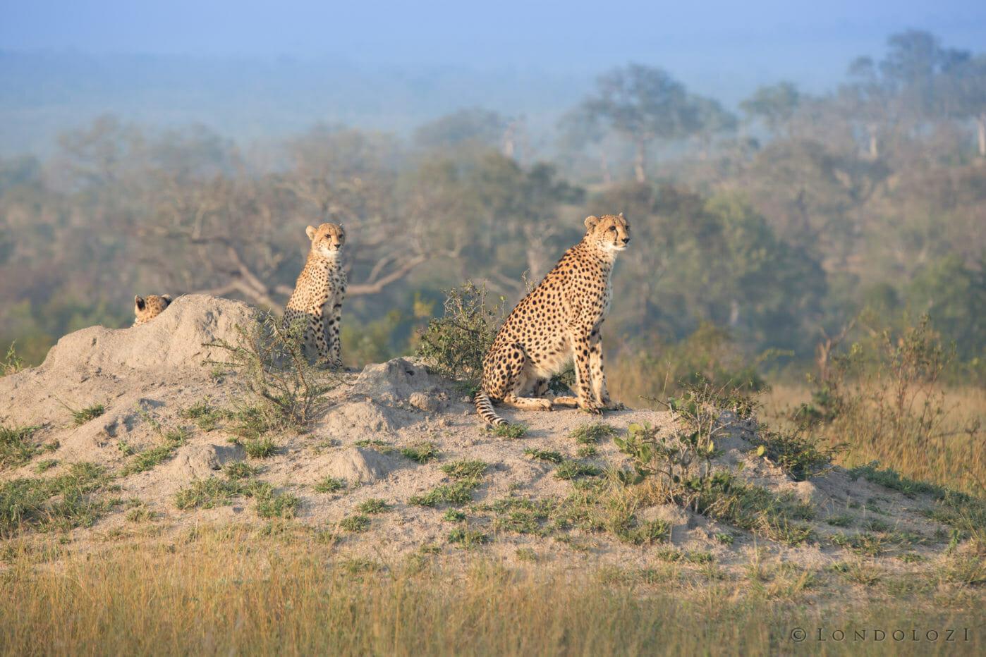 Female Cheetah Cubs Jt 2