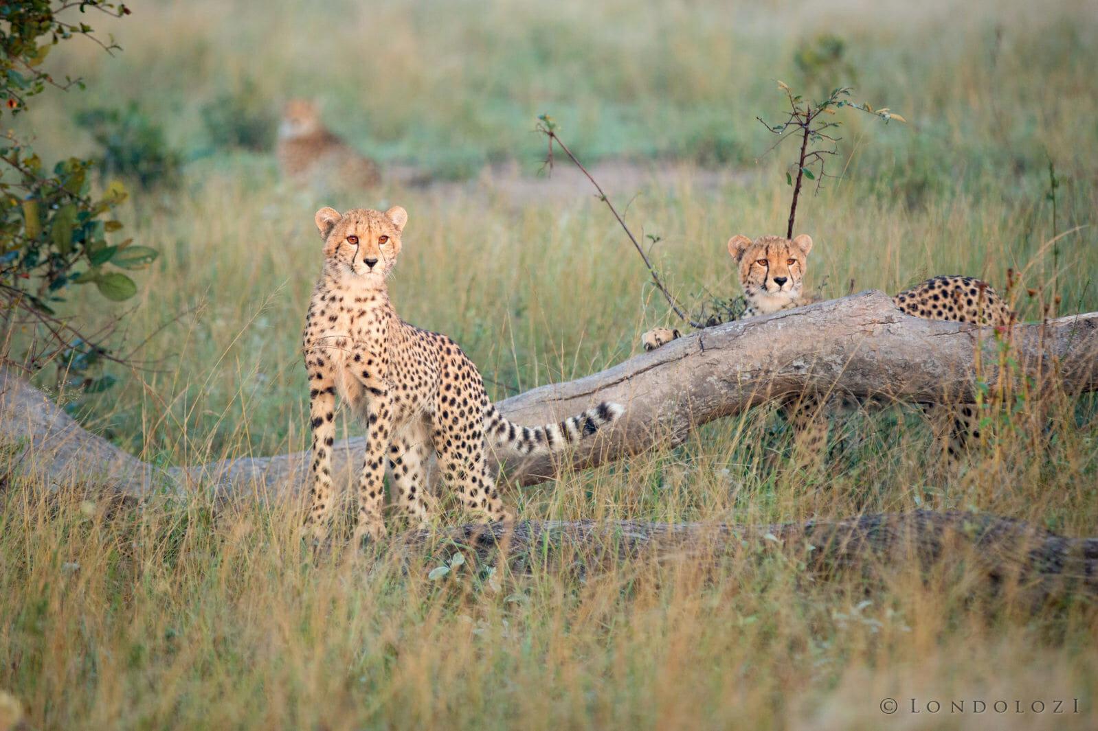 Female Cheetah Cubs Jt