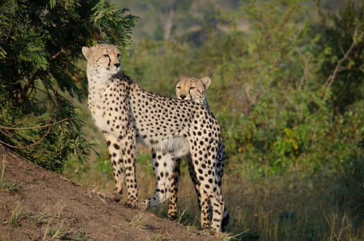 Male Cheetahs Kp
