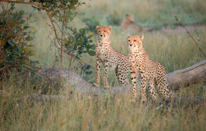 Female Cheetah Cubs 2 Jt