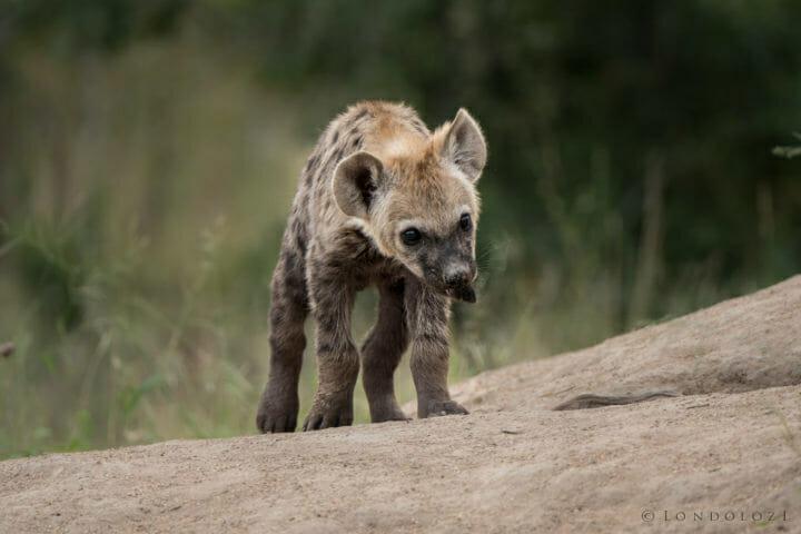 Hyena Cub Gr 1 Of 1