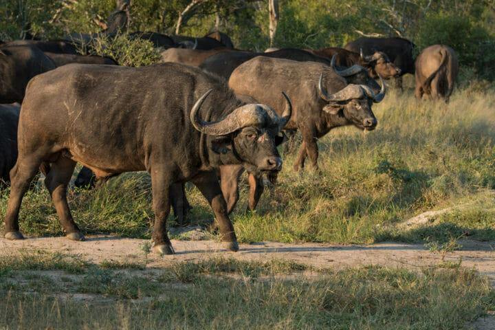 Large Herd Of Buffalo Gr 1 Of 1