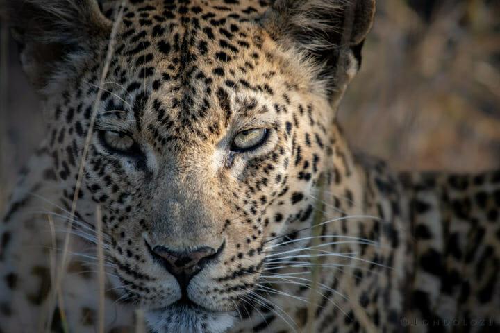 Mashaba, leopard - AJ 2018
