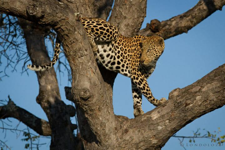 44 Male Leopard Jt