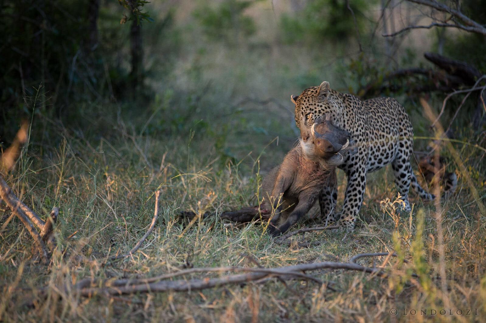 Gowrie Male Leopard Jt