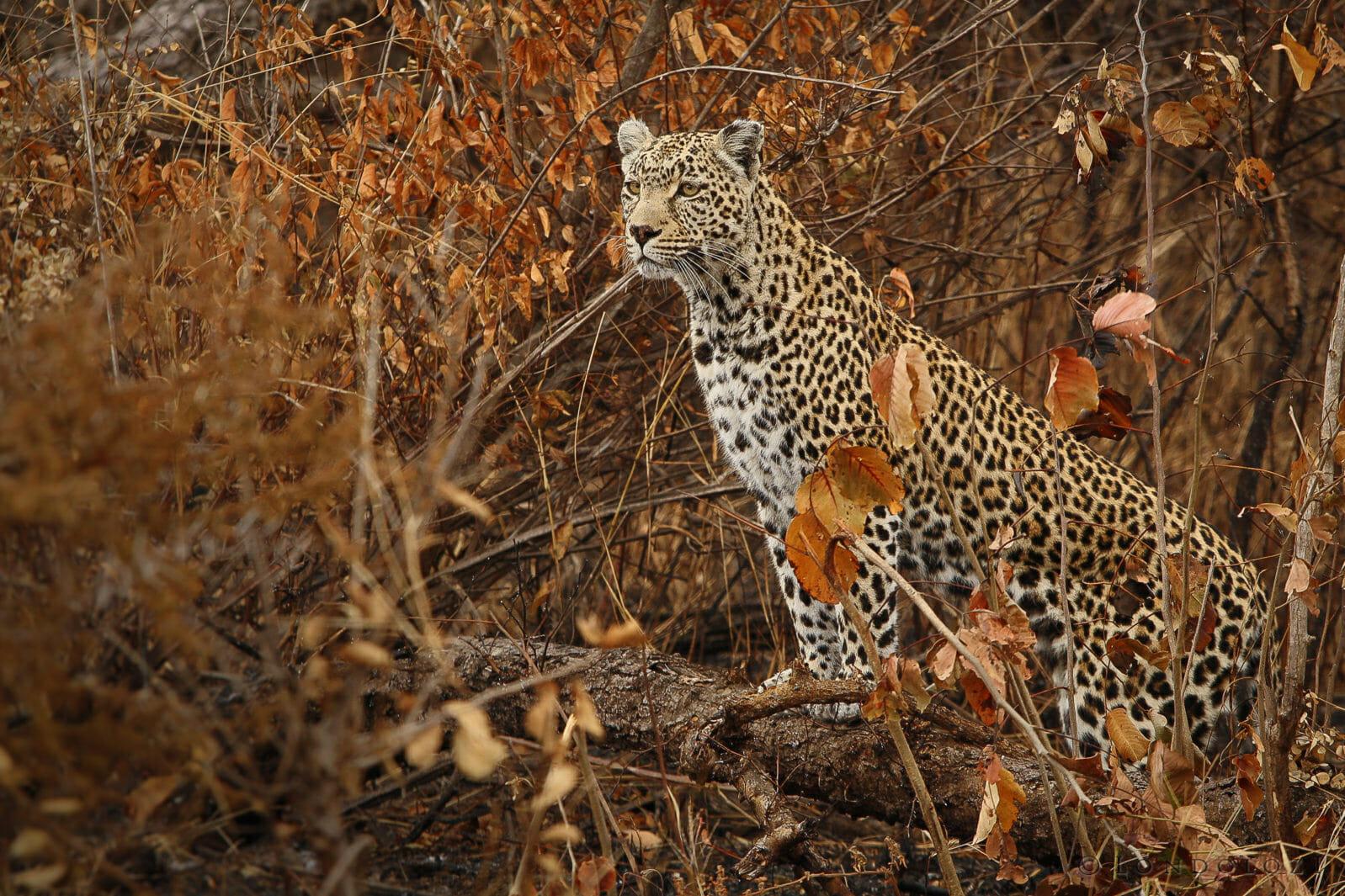 Nottens Female Leopard Jt