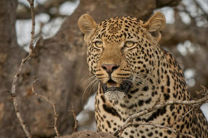 Piva Male Leopard Jt