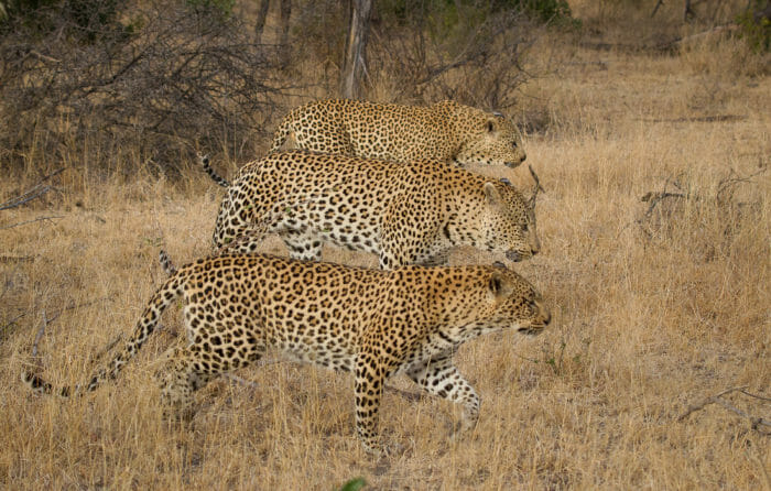Three Leopards Jt