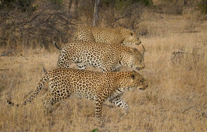 Three Leopards Jt