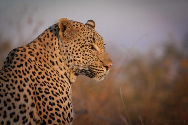 Tu Tones Male Leopard Jt