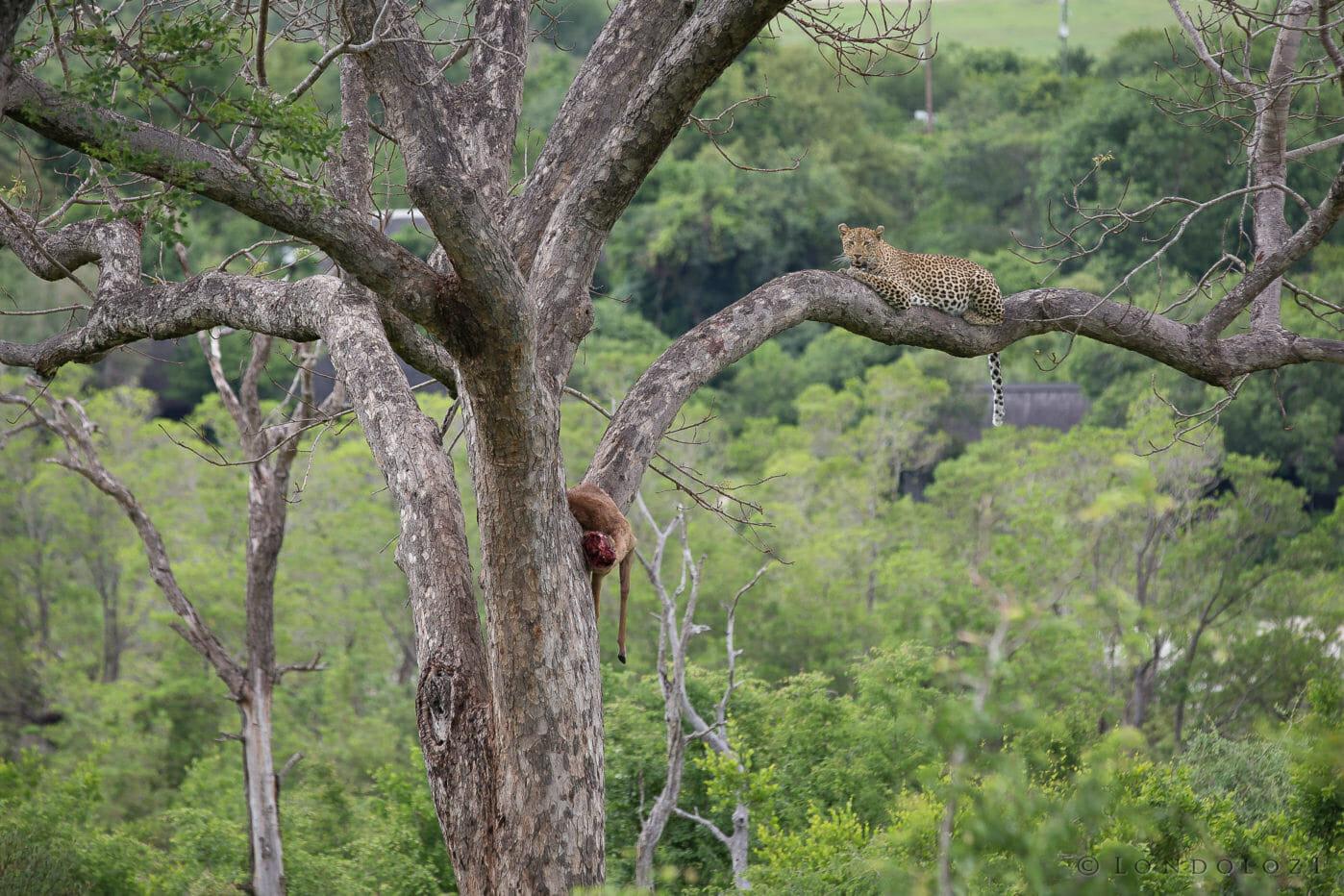 Tutlwa Female Leopard Marula Jt