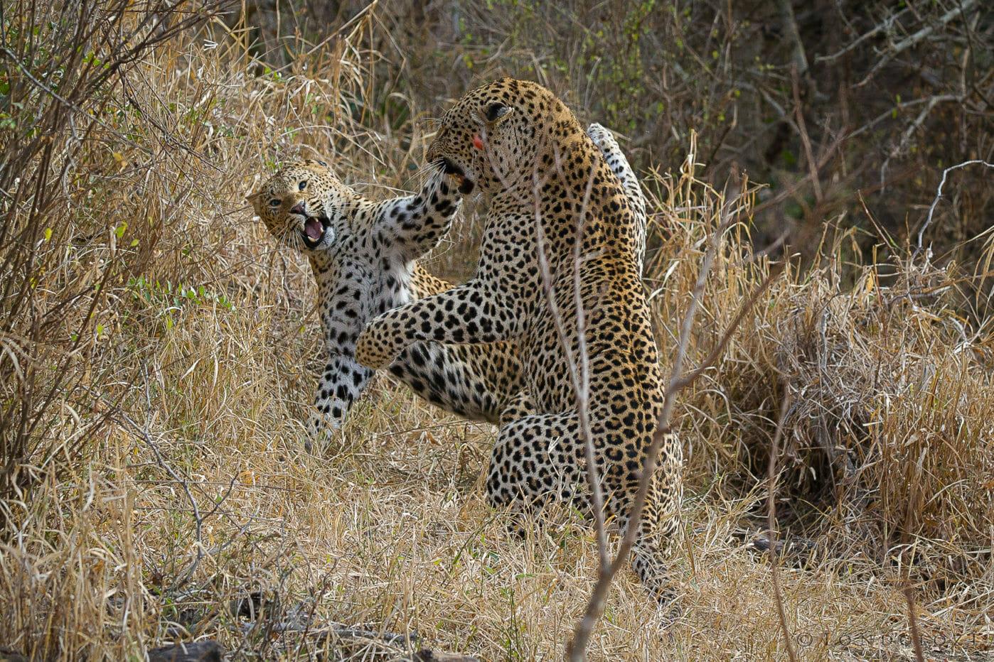 Tutlwa Gowrie Leopard Mate Jt