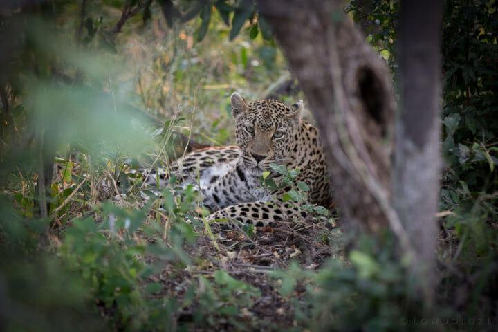 Ximpalapala Female Leopard Jt