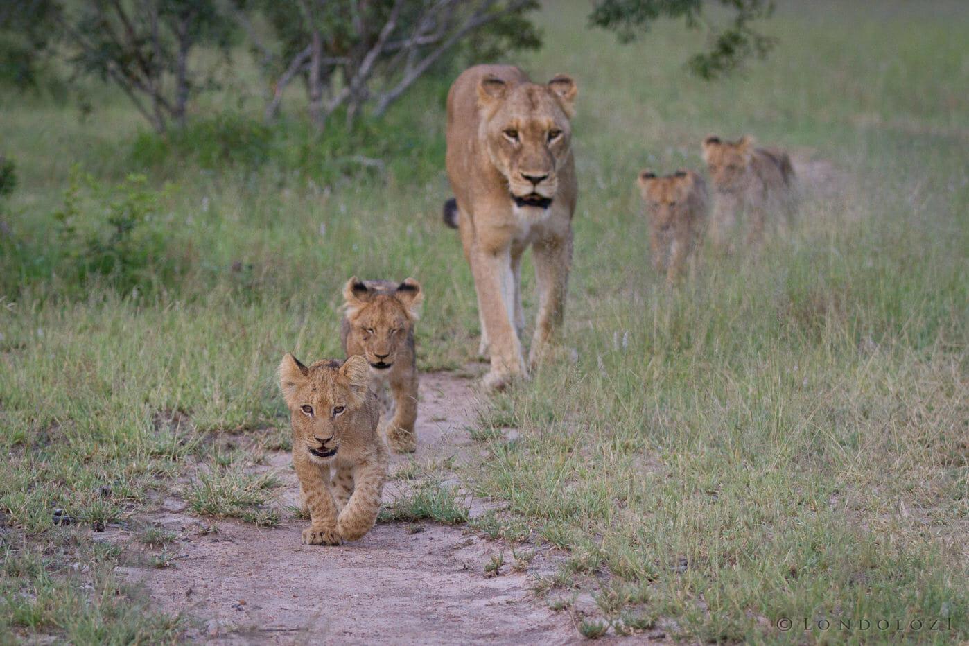 Tsalala Cubs Jt