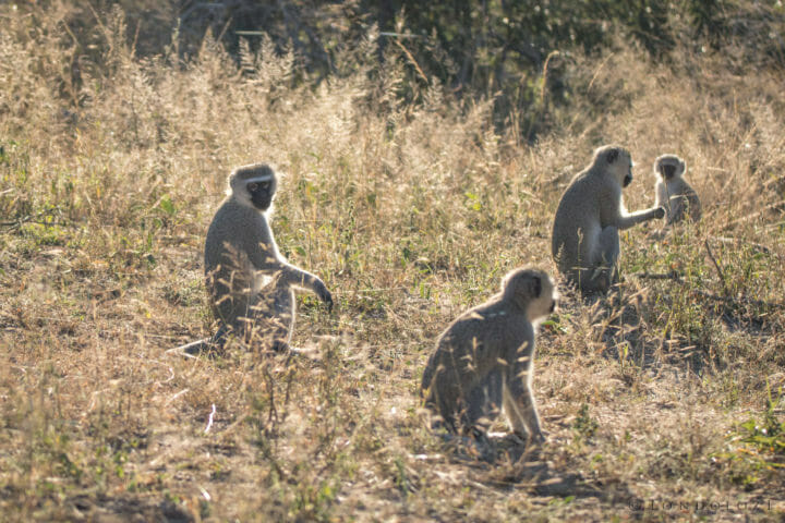 vervet monkeys, morning sun, PT 2018