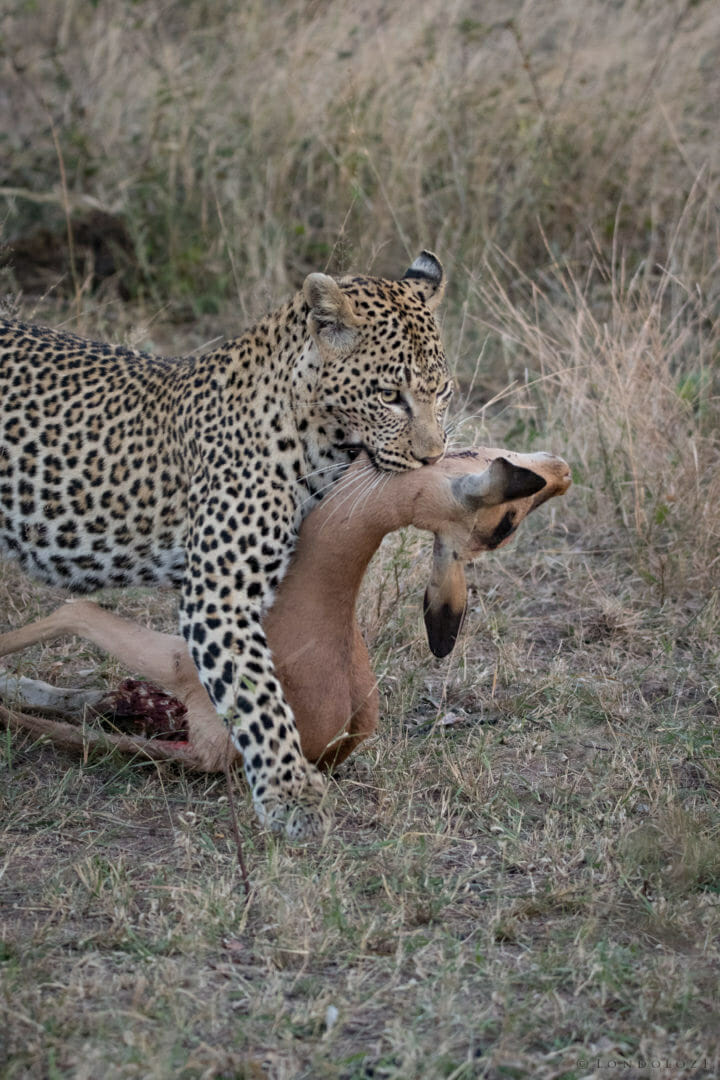 Nkoveni female leopard dragging impala carcass