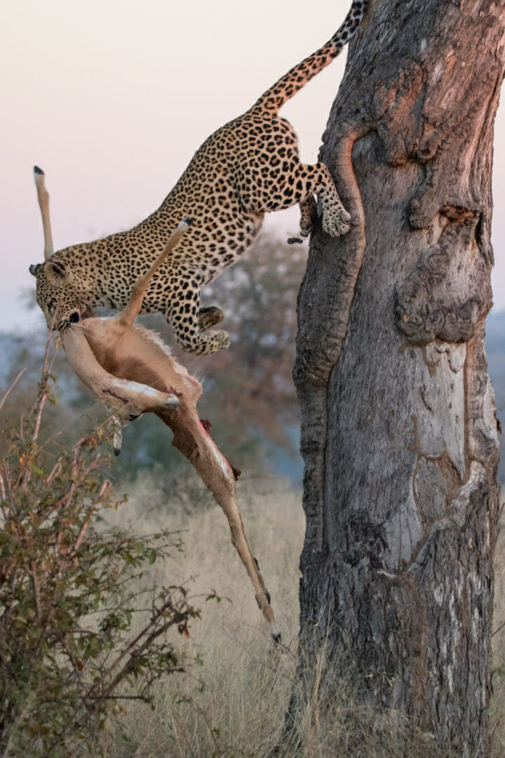 Nkoveni female leopard, jumping, impala kill
