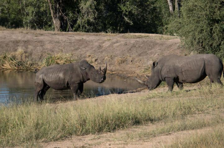 Rhino Fight Rj 4