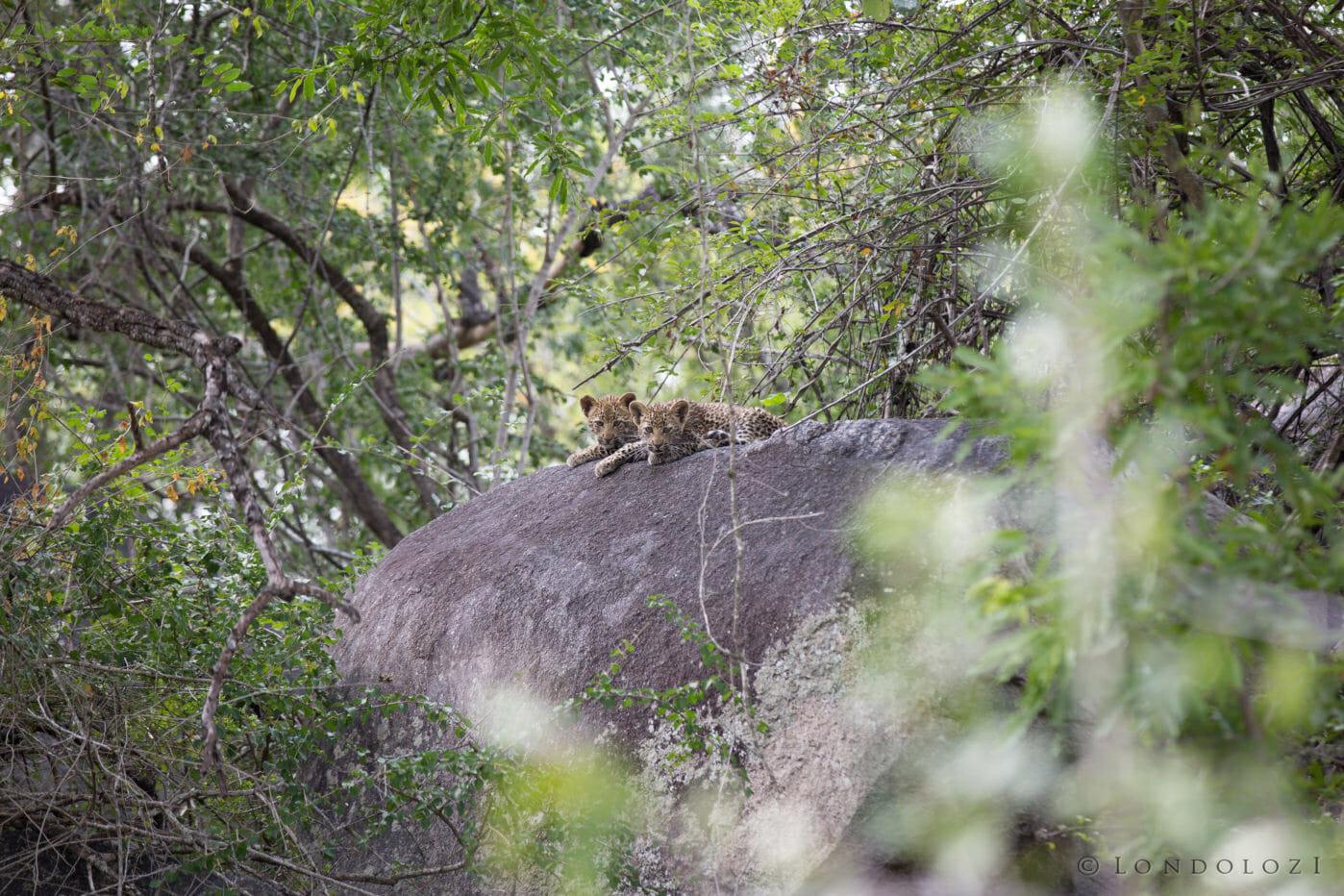 Hosana Leopard Jt