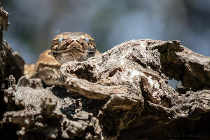 Python snake AJ