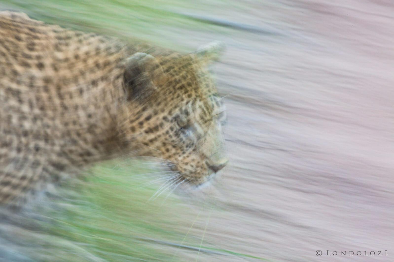 Mashaba Leopard Pan Blur Jt